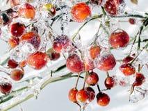 Thornhill las manzanas cubiertas con el hielo 2013 Fotos de archivo