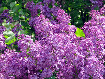 Thornhill lilac bloem 2017 Stock Afbeelding