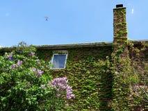 Thornhill lilac bush 2017 Royalty Free Stock Photos