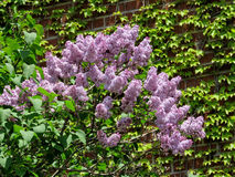 Thornhill lilac flowers 2017 Stock Images