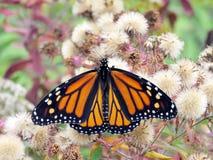 Thornhill-Monarch in Herbstwald 2017 Lizenzfreie Stockfotos