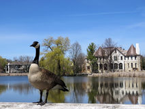 Thornhill pond 2017. Canadian goose on the bank of Oakbank Pond in Thornhill, Canada royalty free stock image
