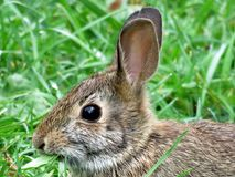 Thornhill portrait of the eastern cottontail rabbit September 2 Royalty Free Stock Photos
