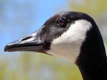 Thornhill the portrait of a goose 2017 Royalty Free Stock Images