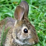 Thornhill portret wschodniego cottontail królik Wrzesień 2017 Obraz Royalty Free