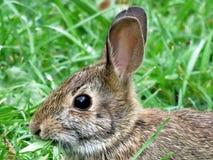 Thornhill portret wschodniego cottontail królik Wrzesień 2 Zdjęcia Royalty Free