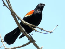 Thornhill Red-winged Blackbird 2017 Royalty Free Stock Image