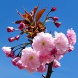 Thornhill sakura flower 2017 Royalty Free Stock Photos