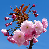 Thornhill Sakura kwiat 2017 Zdjęcia Royalty Free