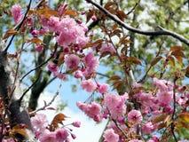 Thornhill sakura tree 2017 Royalty Free Stock Photos