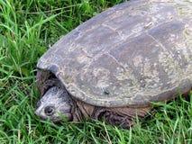 Thornhill-Schildkröte und Gras 2017 Stockbilder