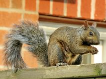 Thornhill squirrel 2017. Squirrel in Thornhill, Canada, September 17, 2017 Stock Photography
