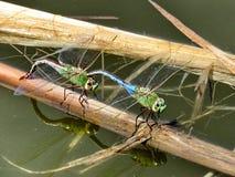 Thornhill stawowi dragonflies 2017 zdjęcia royalty free