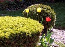 Thornhill Three Tulips 2007 Stock Photos