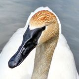 Thornhill trumpeter swan 2016. Trumpeter swan on the Oakbank Pond in Thornhill, Canada, May 21, 2016 Stock Image