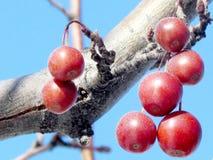 Thornhill vinteräpplen 2014 Fotografering för Bildbyråer
