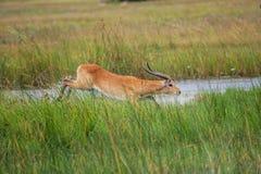 Thornicroft Girafe зашкурить в bushveld в южном национальном парке Luangwa, Замбии, южном maraGiraffa Masi AfricaBotsNamibia стоковые изображения rf