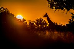 Thornicroft Girafe die in bushveld in het Nationale Park van Zuidenluangwa, Zambia, Zuidelijke maraGiraffa van AfricaBotsNamibia  stock foto