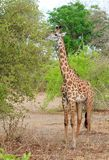 Thornicroft Giraffe feeding from a lush green bush in South Luangwa National Park, Zambia Royalty Free Stock Images