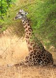 Rare sighting of a giraffe sitting down under a tree in South Luangwa,. Thornicroft Giraffe sitting down under a tree resting and shading from the hot African Stock Images