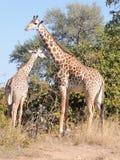 Thornicroft Giraffen Lizenzfreie Stockfotografie