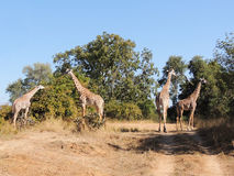 Thornicroft Giraffes Royalty Free Stock Image
