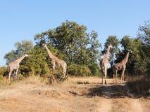 Thornicroft Giraffes royalty free stock image