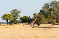 Thornicroft (Rhodesian) giraffe and puku Royalty Free Stock Image