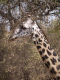 Thornicroft's Giraffe. (Giraffa camelopardalis thornicrofti) in Zambia. Also known as the Rhodesian Giraffe and the Luangwa Giraffe Royalty Free Stock Photo