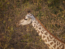 Thornicroft's Giraffe. (Giraffa camelopardalis thornicrofti) in Zambia. Also known as the Rhodesian Giraffe and the Luangwa Giraffe Royalty Free Stock Photos