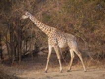 Thornicroft's Giraffe. (Giraffa camelopardalis thornicrofti) in Zambia. Also known as the Rhodesian Giraffe and the Luangwa Giraffe Royalty Free Stock Photo