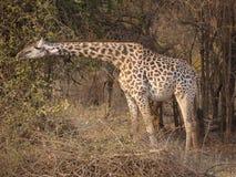 Thornicroft's Giraffe. (Giraffa camelopardalis thornicrofti) in Zambia. Also known as the Rhodesian Giraffe and the Luangwa Giraffe Royalty Free Stock Image