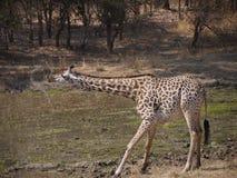 Thornicroft's Giraffe. (Giraffa camelopardalis thornicrofti) in Zambia. Also known as the Rhodesian Giraffe and the Luangwa Giraffe Stock Photography