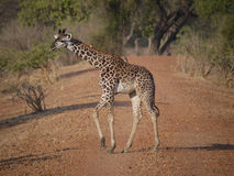 Thornicroft's Giraffe. (Giraffa camelopardalis thornicrofti) in Zambia. Also known as the Rhodesian Giraffe and the Luangwa Giraffe Royalty Free Stock Photography