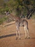 Thornicroft's Giraffe. (Giraffa camelopardalis thornicrofti) in Zambia. Also known as the Rhodesian Giraffe and the Luangwa Giraffe Royalty Free Stock Images