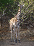 Thornicroft's Giraffe. (Giraffa camelopardalis thornicrofti) in Zambia. Also known as the Rhodesian Giraffe and the Luangwa Giraffe Stock Images