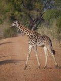 Thornicroft's Giraffe. (Giraffa camelopardalis thornicrofti) in Zambia. Also known as the Rhodesian Giraffe and the Luangwa Giraffe Stock Images