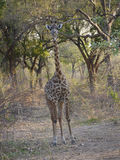Thornicroft's Giraffe. (Giraffa camelopardalis thornicrofti) in Zambia. Also known as the Rhodesian Giraffe and the Luangwa Giraffe Royalty Free Stock Photography