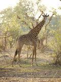 Thornicroft's Giraffe. (Giraffa camelopardalis thornicrofti) in Zambia. Also known as the Rhodesian Giraffe and the Luangwa Giraffe Stock Photo