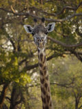 Thornicroft's Giraffe. (Giraffa camelopardalis thornicrofti) in Zambia. Also known as the Rhodesian Giraffe and the Luangwa Giraffe Stock Photos