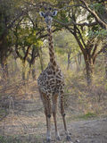 Thornicroft's Giraffe. (Giraffa camelopardalis thornicrofti) in Zambia. Also known as the Rhodesian Giraffe and the Luangwa Giraffe Royalty Free Stock Photos