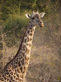 Thornicroft's Giraffe Stock Images