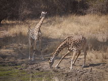 Thornicroft's Giraffes. (Giraffa camelopardalis thornicrofti) in Zambia. Also known as the Rhodesian Giraffe and the Luangwa Giraffe Royalty Free Stock Photography