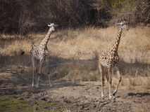 Thornicroft's Giraffes. (Giraffa camelopardalis thornicrofti) in Zambia. Also known as the Rhodesian Giraffe and the Luangwa Giraffe Royalty Free Stock Photos