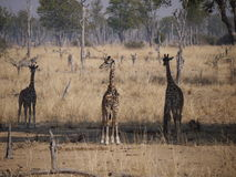 Thornicroft's Giraffes. (Giraffa camelopardalis thornicrofti) in Zambia. Also known as the Rhodesian Giraffe and the Luangwa Giraffe Stock Image