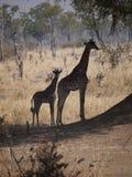 Thornicroft's Giraffes. (Giraffa camelopardalis thornicrofti) in Zambia. Also known as the Rhodesian Giraffe and the Luangwa Giraffe Stock Photography