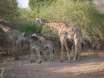 Thornicroft's Giraffes. (Giraffa camelopardalis thornicrofti) in Zambia. Also known as the Rhodesian Giraffe and the Luangwa Giraffe Stock Images
