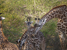 Thornicroft's Giraffes. (Giraffa camelopardalis thornicrofti) in Zambia. Also known as the Rhodesian Giraffe and the Luangwa Giraffe Stock Photo