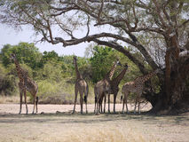 Thornicroft's Giraffes. (Giraffa camelopardalis thornicrofti) in Zambia. Also known as the Rhodesian Giraffe and the Luangwa Giraffe Stock Photos