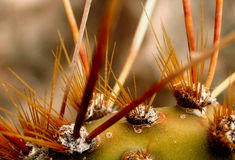 Thorns. Close-up of Cactus Needles Royalty Free Stock Photo